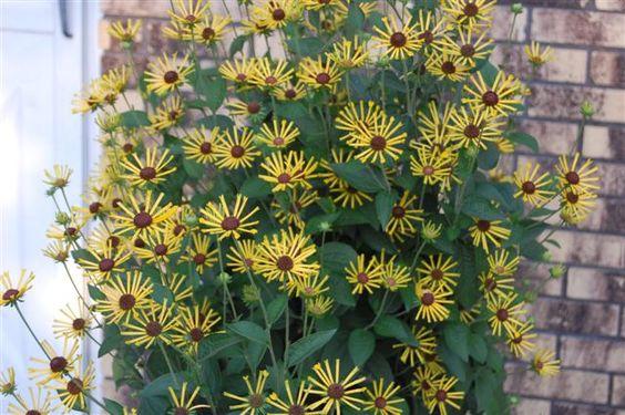 Image result for rudbeckia subtomentosa 'henry eilers'