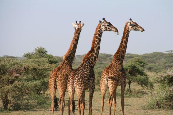 giraffes in African plains
