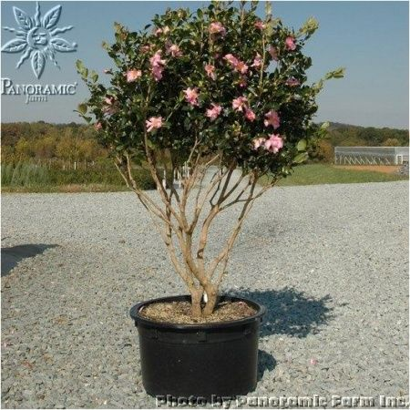 Camellia Sasanqua Cleopatra Cleopatra Sasanqua Camellia