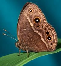 Butterflies change wing color in new Yale research