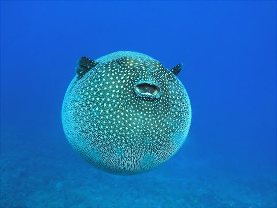 Cool tropical reef fish the puffer fish anguilla for Cool tropical fish