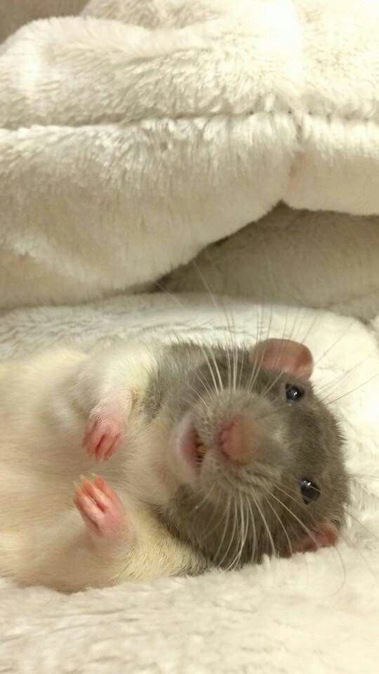 Rat - cool picture