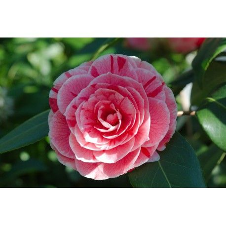 Never Underestimate The Influence Of Camellia Flower Edible Camellia Flower Edible In 2020 Camellia Flower Flowers Flower Cake Toppers
