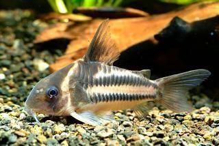 Corydoras bifasciatus plecostomus corydoras pinterest for 405 tropical fish