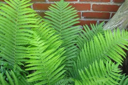 How To Get Rid Of Ferns Naturally
