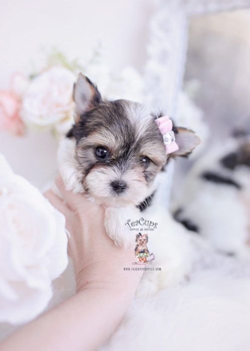 Biewer Yorkie Terrier Puppy For Sale Teacup Puppies 334 A1