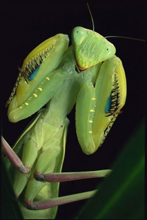 Praying Mantis Ready For Fight, Ivory Coast, Africa