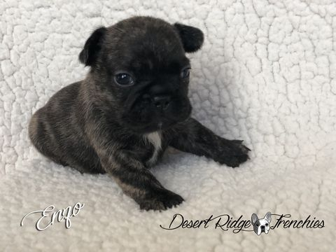 Litter Of 2 French Bulldog Puppies For Sale In Chandler Az Adn
