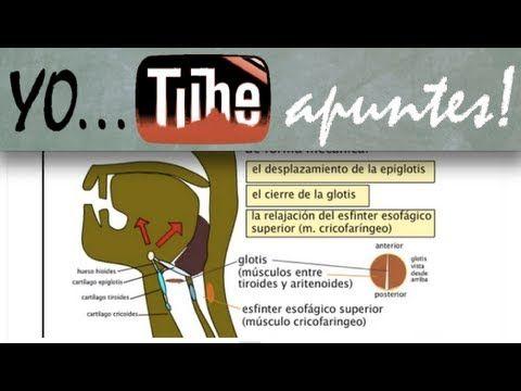 Animación que explica la fase orofaringea de la deglución con los nervios que intervienen y la funcíon de cada músculo de los que inervan.
