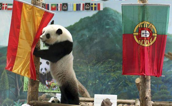 A panda Lin Ping prevê que a Espanha ganhará de Portugal na semifinal da Eurocopa 2012.