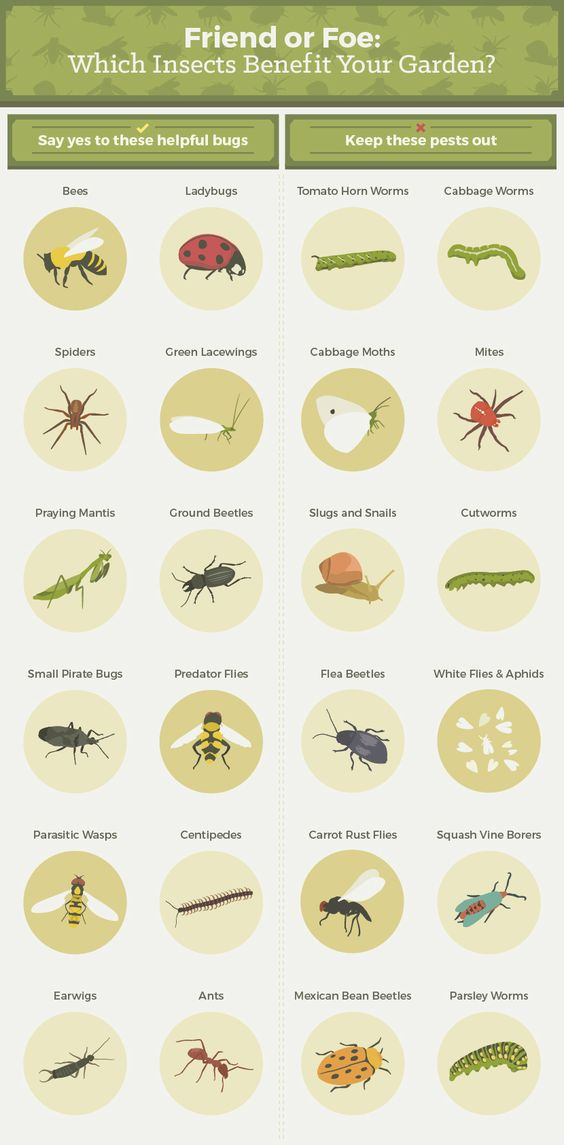 Insects that benefit the garden. Particularly attractive to the predators that help control pest populations are: marigolds, parsley, zinia, sweet alyssunm mint, carrots, fennel, dill, coriander.