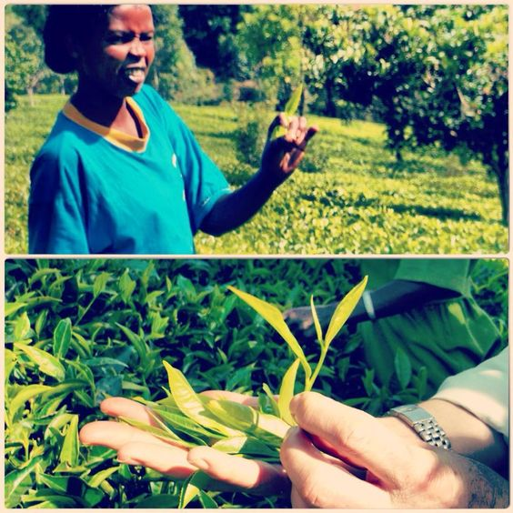 two leaves and a bud beautiful kenyan tea rethink tea. Farmer direct.  direct trade tea. Seeking Justice for Kenyan farmers