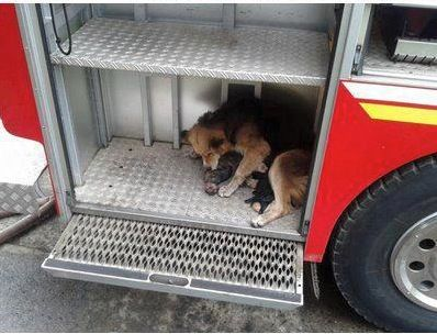 Amanda, the german shepherd, saves her pups from a house fire (Chile).