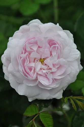 'Duchesse de Montebello' Gallica rose..... I have this rose and didn't know the name.  Beautiful smell.