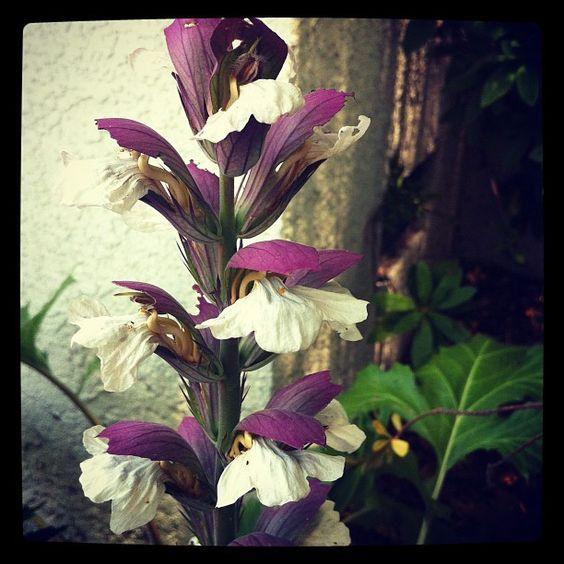 Photo: Acanthus in the garden via Instagram | A Gardener's Notebook