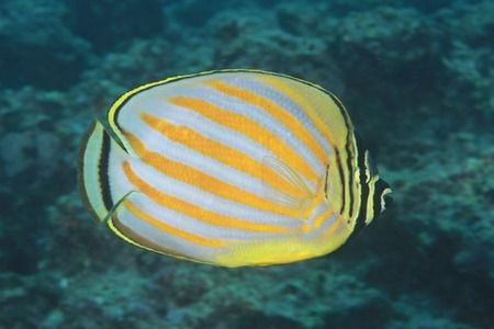 The Ornate Butterflyfish, Chaetodon ornatissimus, is a species of butterflyfish (family Chaetodontidae). It is found in depths down to 36 m.