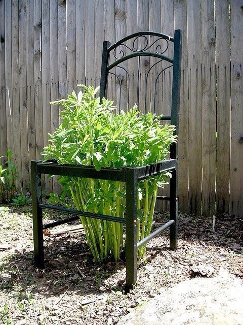 cadeira velha usada como uma treliça jardim de peônias
