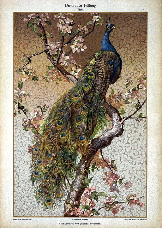 victorian peacock print illustration: