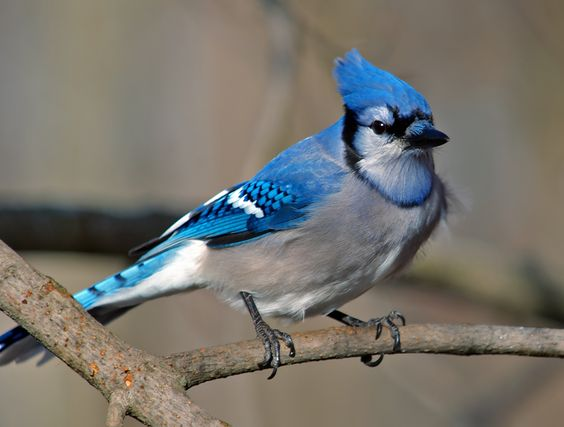 I used to see the blue jay in my backyard... | Something ...