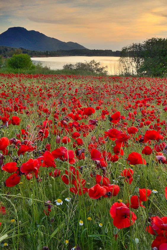 Field of Poppies at the Lake