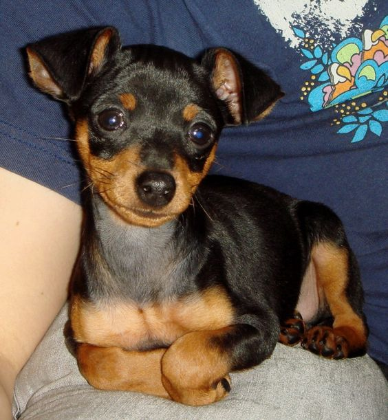 "min pin   Reminds me of ""Dobbie G"" when we first got him!!! Love him always!Never be another little ""mandog"" like him!!!"