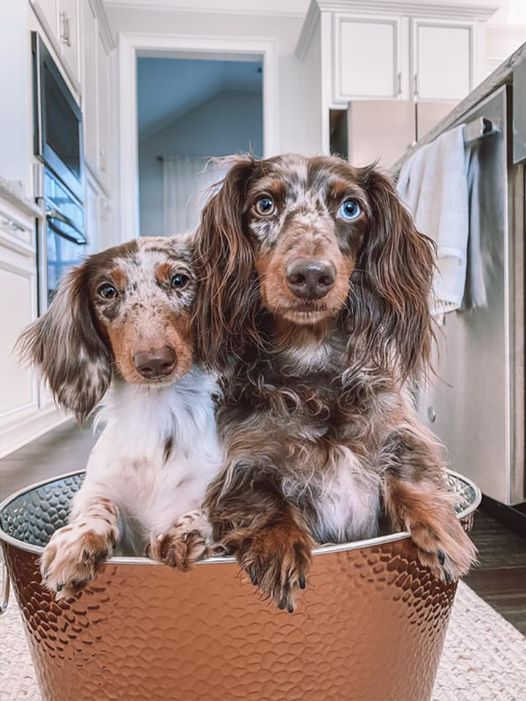 12 Reasons You Should Not Own A Dachshund Dachshunds Can Be Also