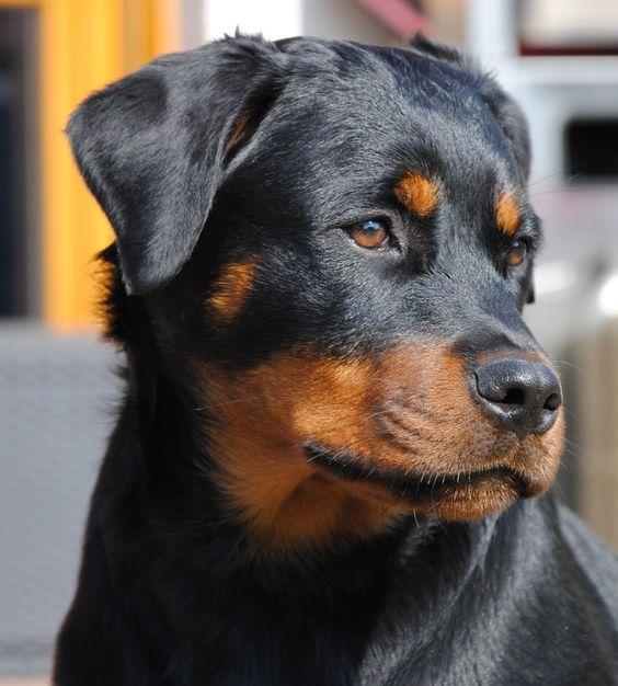 Pin Von Chumani On Tree Auf Rottweiler Hunde Hunde Rassen Und Rottweiler