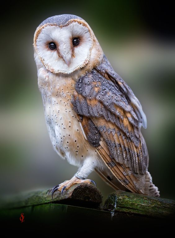 Such a beautiful owl