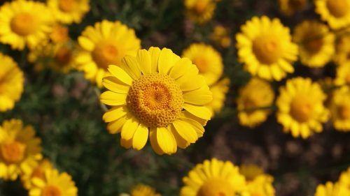 Yellow Daisy Flower Images As Best Hd Wallpapers For Laptop 1080p Hd Wallpapers Wallpapers Download High Resolution Wallpapers Laptop Wallpaper Flower Images Yellow Daisy Flower