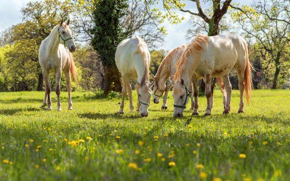 Białe, Konie, Łąka, Drzewa, Wypas, Wiosna