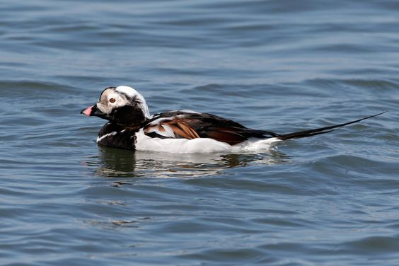 """A duck of cold northern waters. Often the most abundant bird in the high Arctic. Large flocks are often far out at sea; many spend the winter on such northern waters as Bering Sea, Hudson Bay, and Great Lakes. Flocks fly low over sea, with stiff shallow wingbeats, often tilting from side to side. Far more vocal than most ducks, and loud melodious calls of flocks can be heard from some distance. It was formerly called """"Oldsquaw,"""" not politically correct by any measure, a reference to this…"""