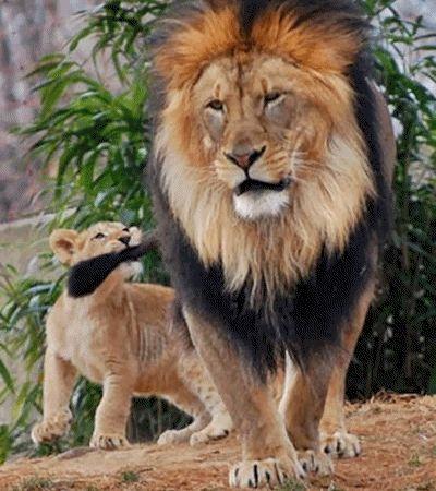 leoa brigando com leao gifs - Pesquisa Google