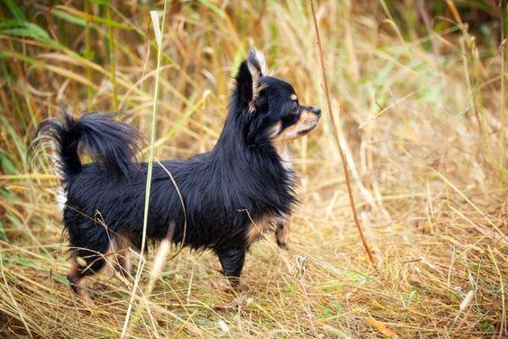Ein Chihuahua auf der Pirsch: Ist da wohl ein anderer Hund in Sicht? — Bild: Shutterstock / JuliaSha    www.einfachtierisch.de
