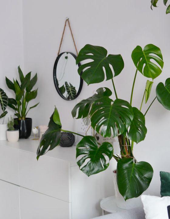 Rosliny Doniczkowe Zwisajace Pnace Rosliny W Moim Domu Plants Plant Leaves Monstera