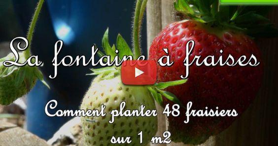 la fontaine aux fraises bio pour r ussir la culture des fraisiers biologiques sur un petit. Black Bedroom Furniture Sets. Home Design Ideas