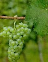 Grape -  UVA TOCAI FRIULANO - ORIGEM - ITÁLIA