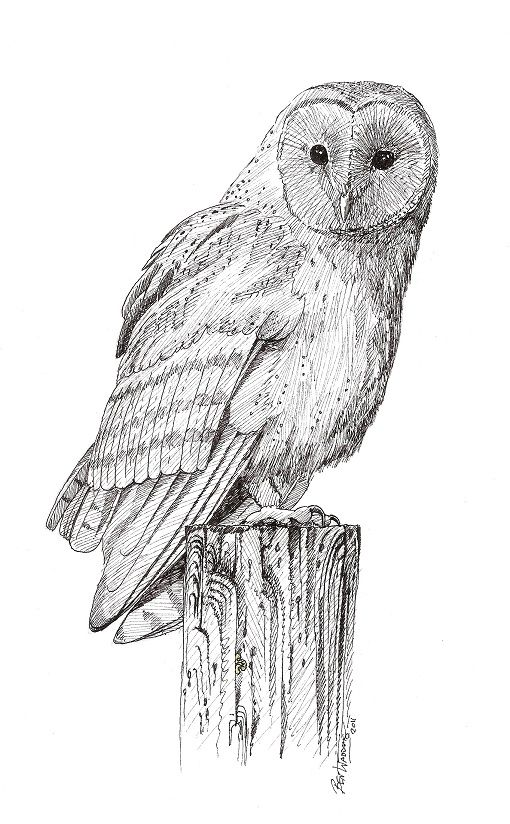 Pics photos barn owl sketches pencil drawings wildlife for Draw the owl