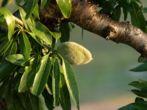 Dossier Huile végétale Amande douce - Prunus amygdalus var dulcis - Propriétés, utilisations, recettes santé et bien-être