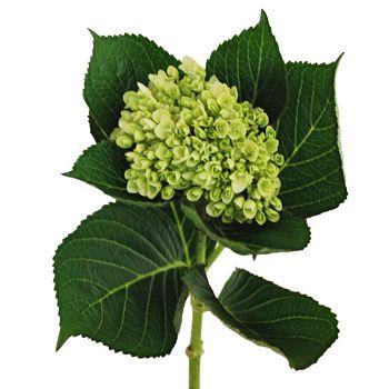 Green hydrangea for bridesmaids