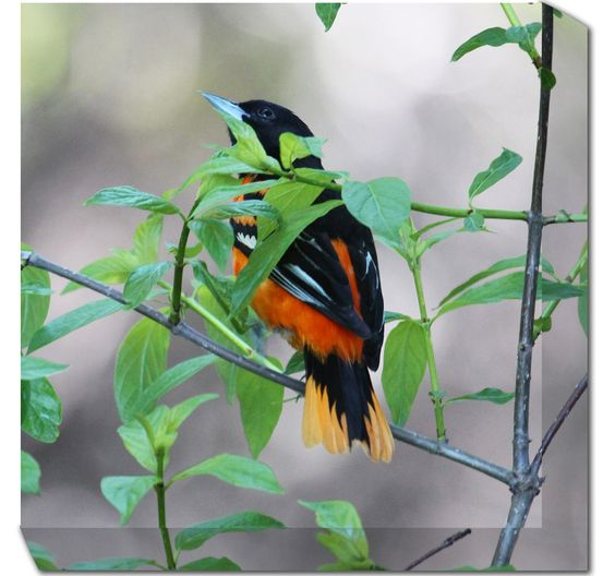 Baltimore Oriole Wrapped Photographic Print on Canvas