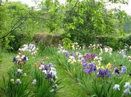 rhizome iris marche - Recherche Google