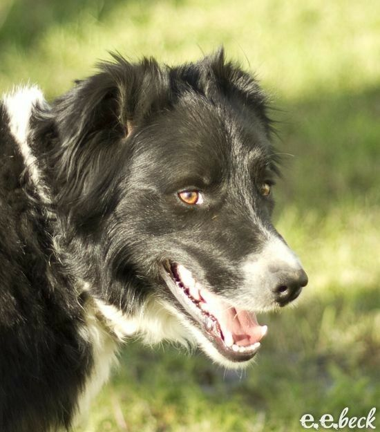 Border Collie Smiling Dogs Border Collie Border Collie Dog