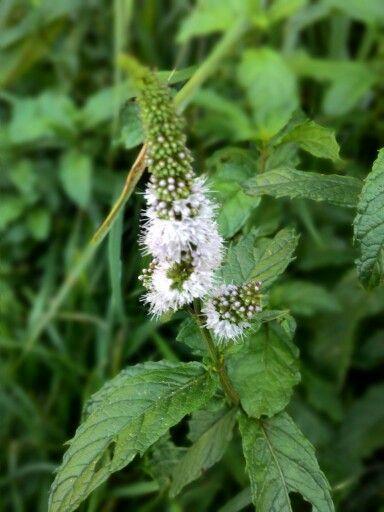 Flor de hortelã
