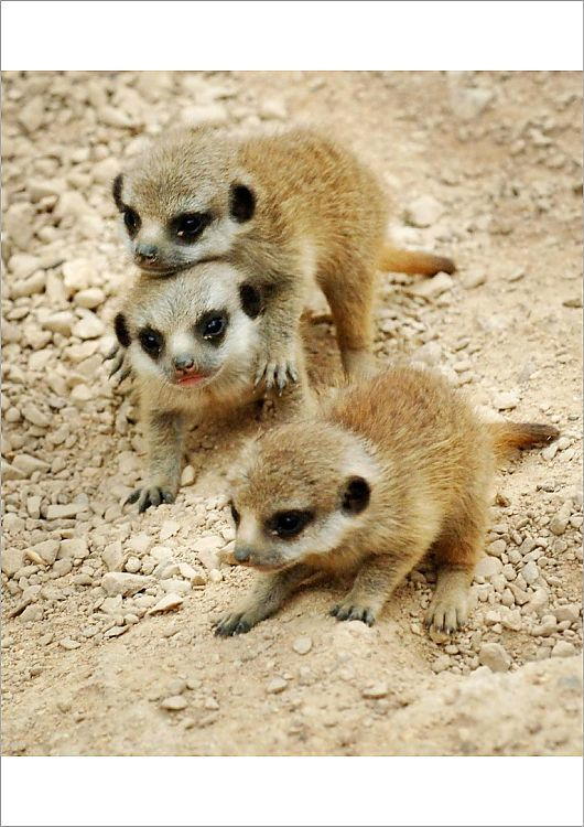 Poster Print Baby Meerkats At London Zoo 16 X23 Poster Sized Print Made In The Usa In 2020 With Images African Wildlife London Zoo Poster Size Prints
