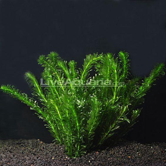 Anacharis underwater algae control 59 82 no need to for Deep pond plants