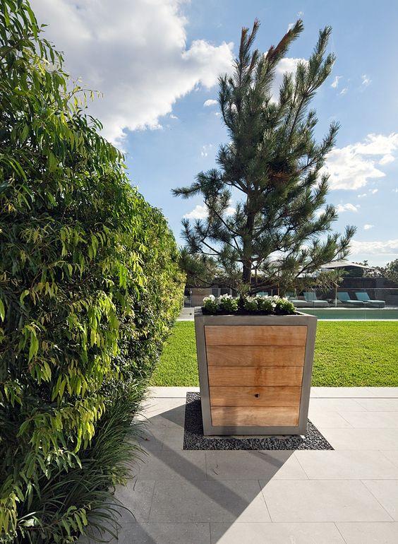 pinus pinea underplanted with coloured annuals in custom hamptons timber steel pots waterhousia floribunda hedge on left bellevue hill nsw australia bellevue hill post office