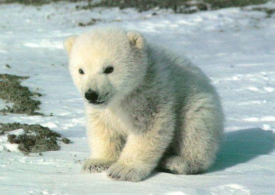 a polar bear cub of extreme cuteness