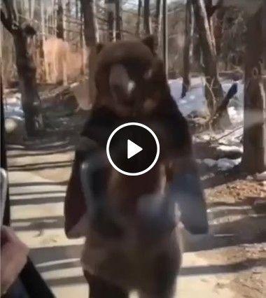 Urso fingido que é humano educado foi visitar as pessoas
