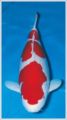 Grand champion koi fish all japan google search koi for Champion koi fish