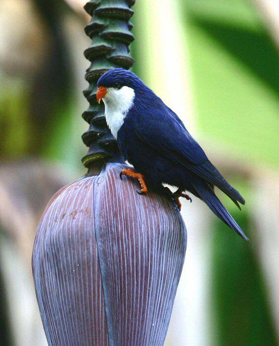 Blue Lorikeet (Vini peruviana)